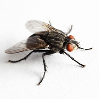 Greater House Flies